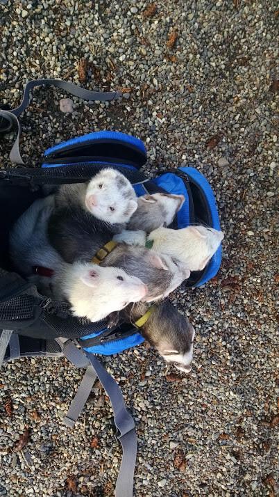 ferrets backback